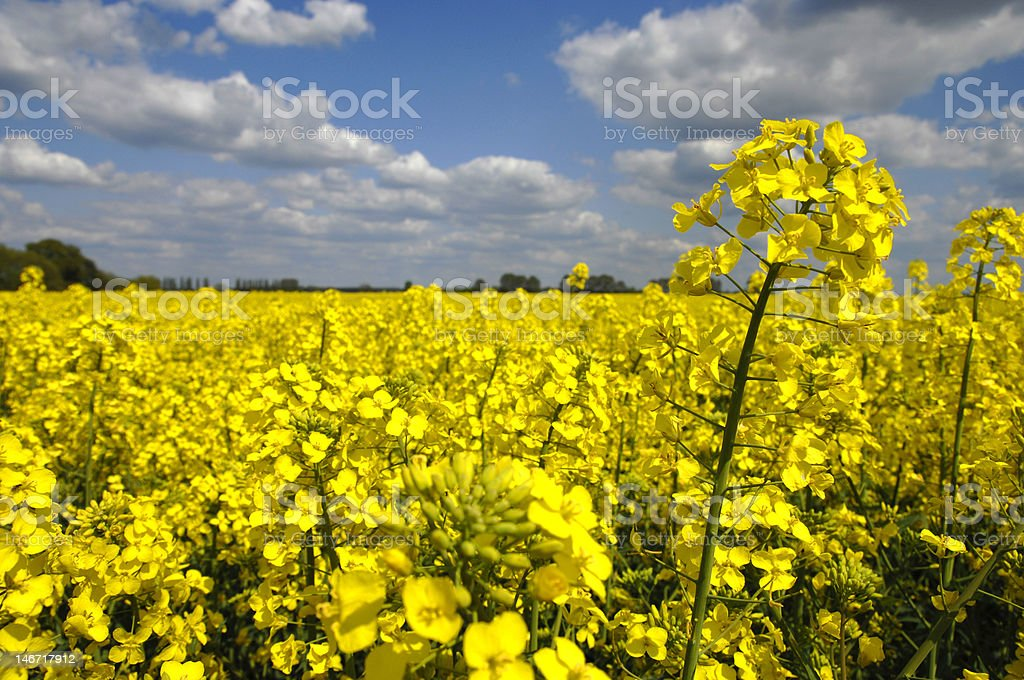 yellow canola field royalty-free stock photo