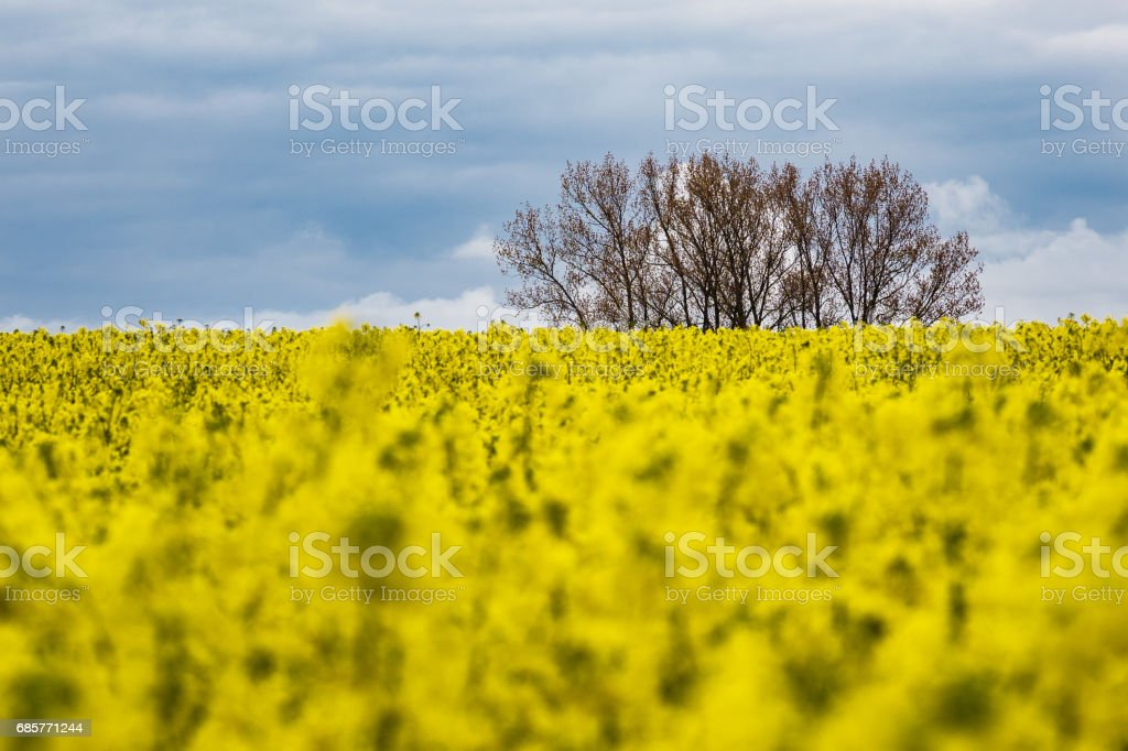 Yellow canola field with clouds in the sky photo libre de droits