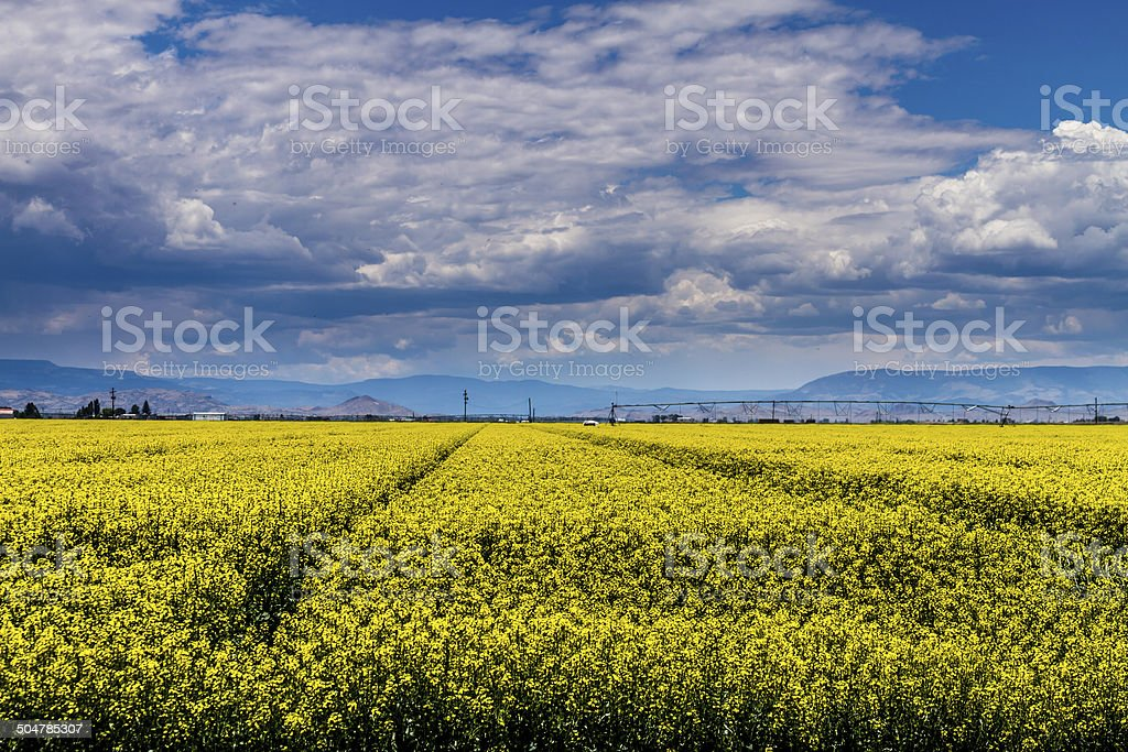 Yellow Canola Rapeseed Fields in Bloom stock photo