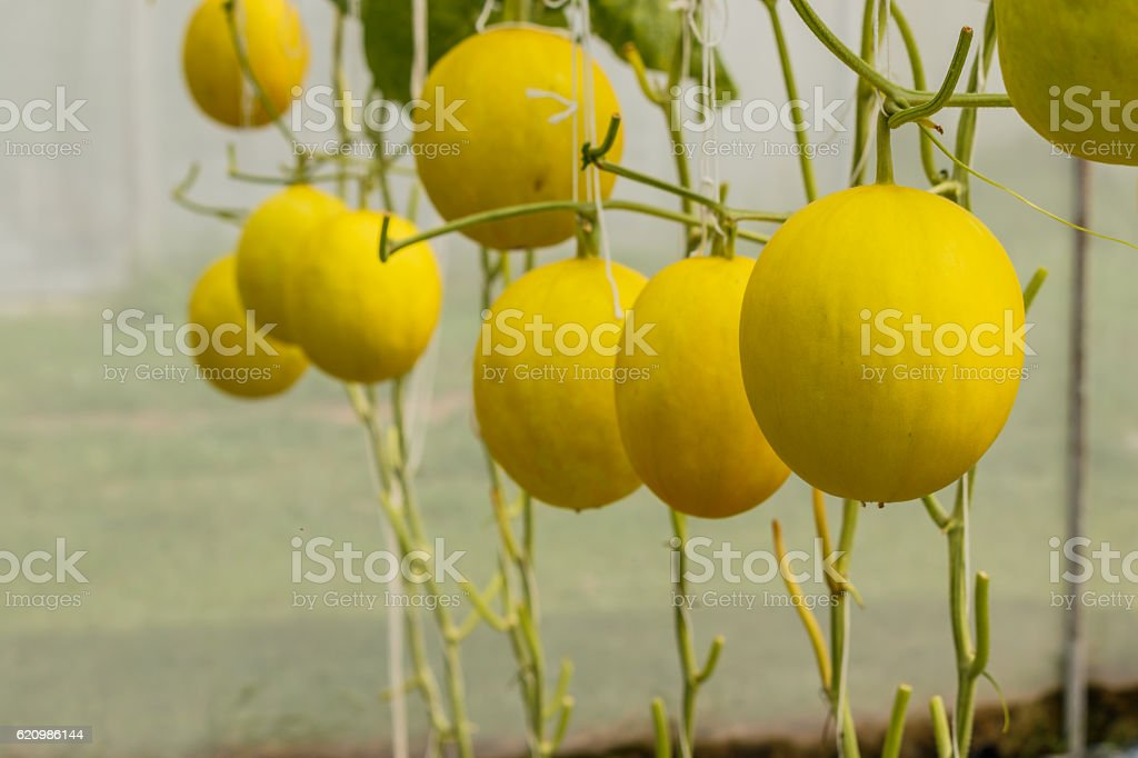 Yellow Cantaloupe melon growing in a greenhouse. foto royalty-free