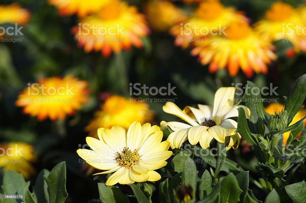 Yellow cap asters stock photo