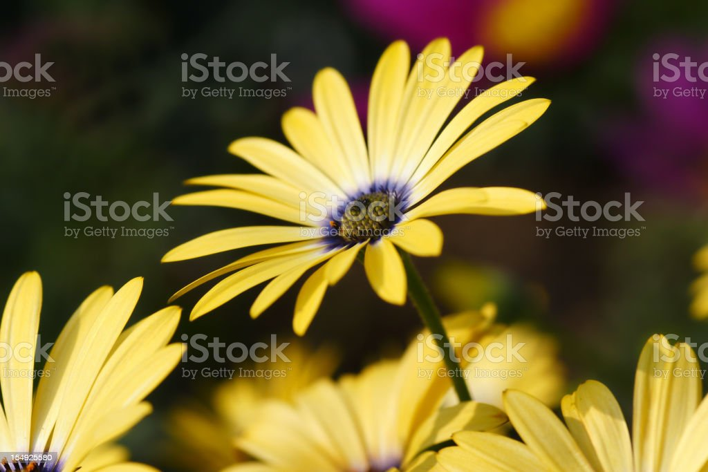 Yellow cape aster stock photo