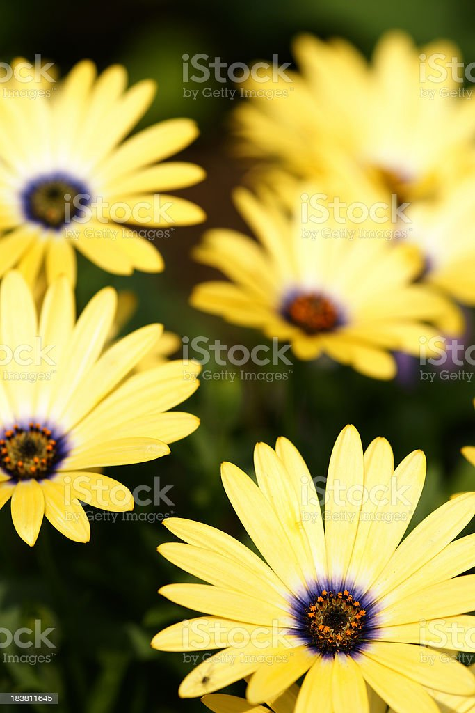 Yellow cape asters stock photo