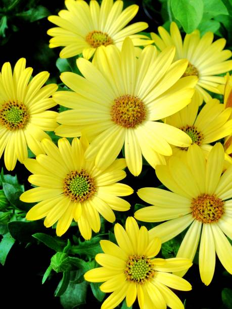 Yellow Cape Marguerite Daisy flowers