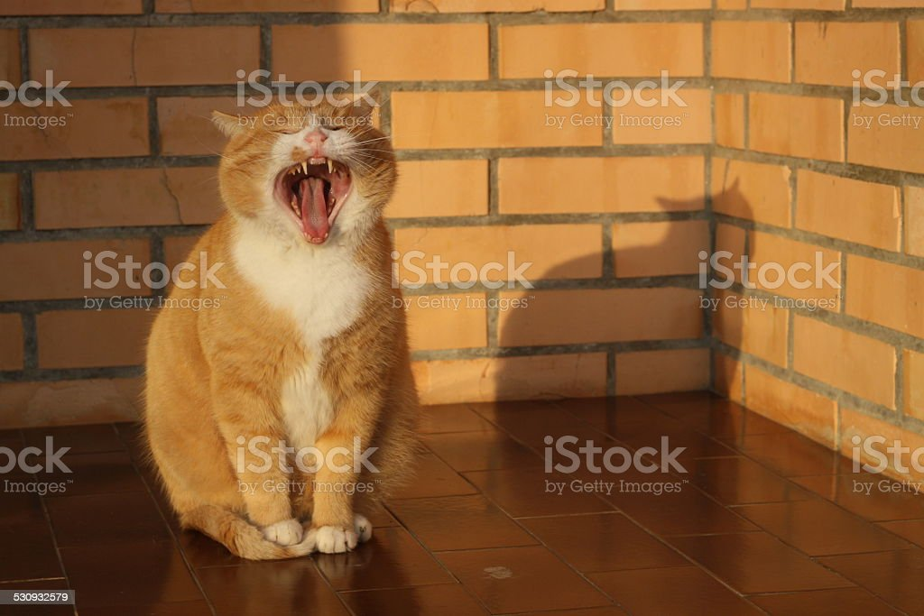 Yellow cat yawning in the sunlight stock photo