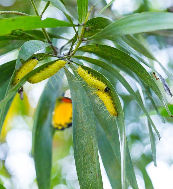 yellow caterpillar - hair grow cyclus stockfoto's en -beelden