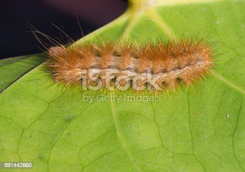 Caterpillar is densely covered with brown hairs, these butterflies got their name bear.