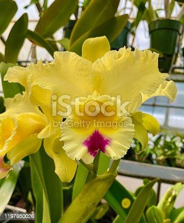 Beautiful yellow Cattleya orchid