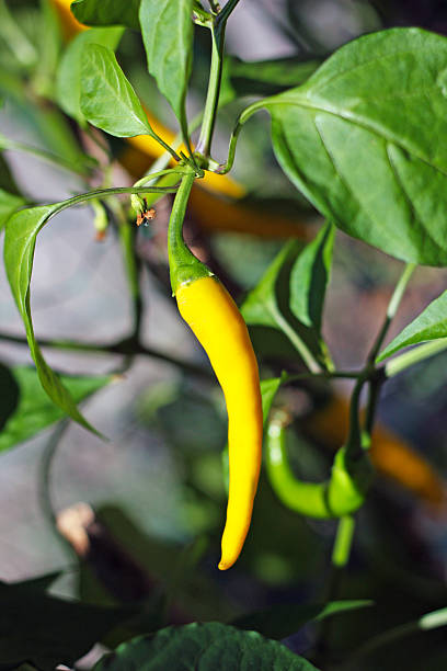 Yellow Cayenna chili pepper stock photo