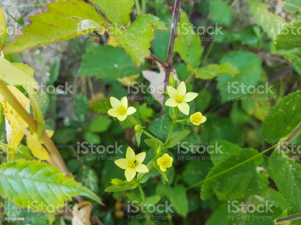 Centaura amarilla - foto de stock