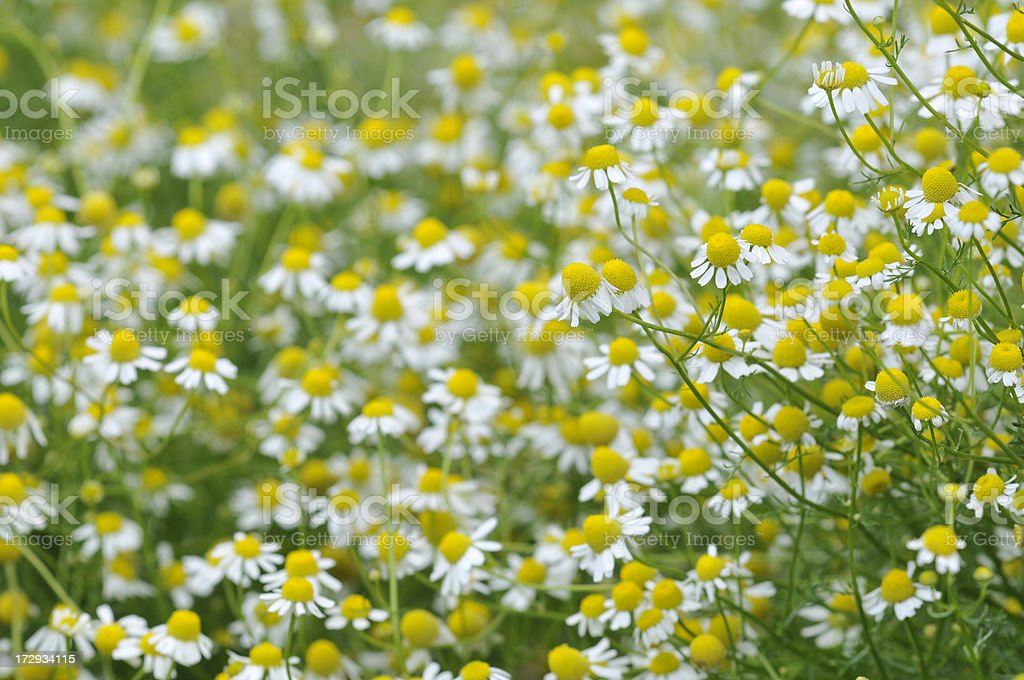 Yellow Chamomile royalty-free stock photo