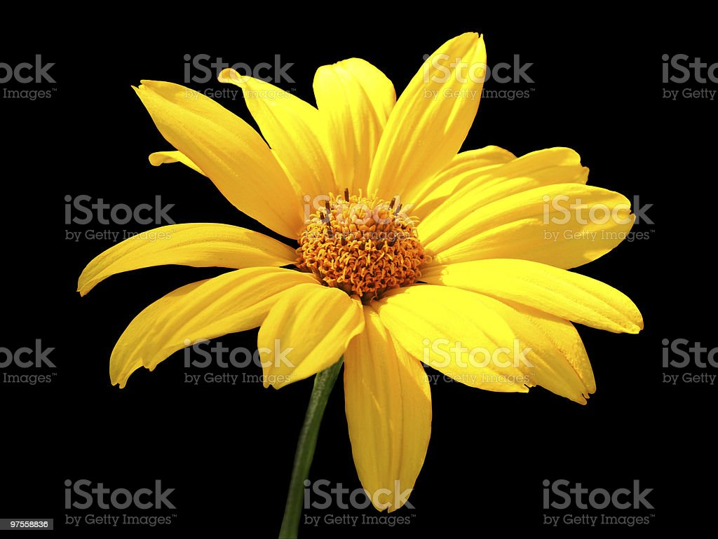 Yellow chamomile royalty-free stock photo