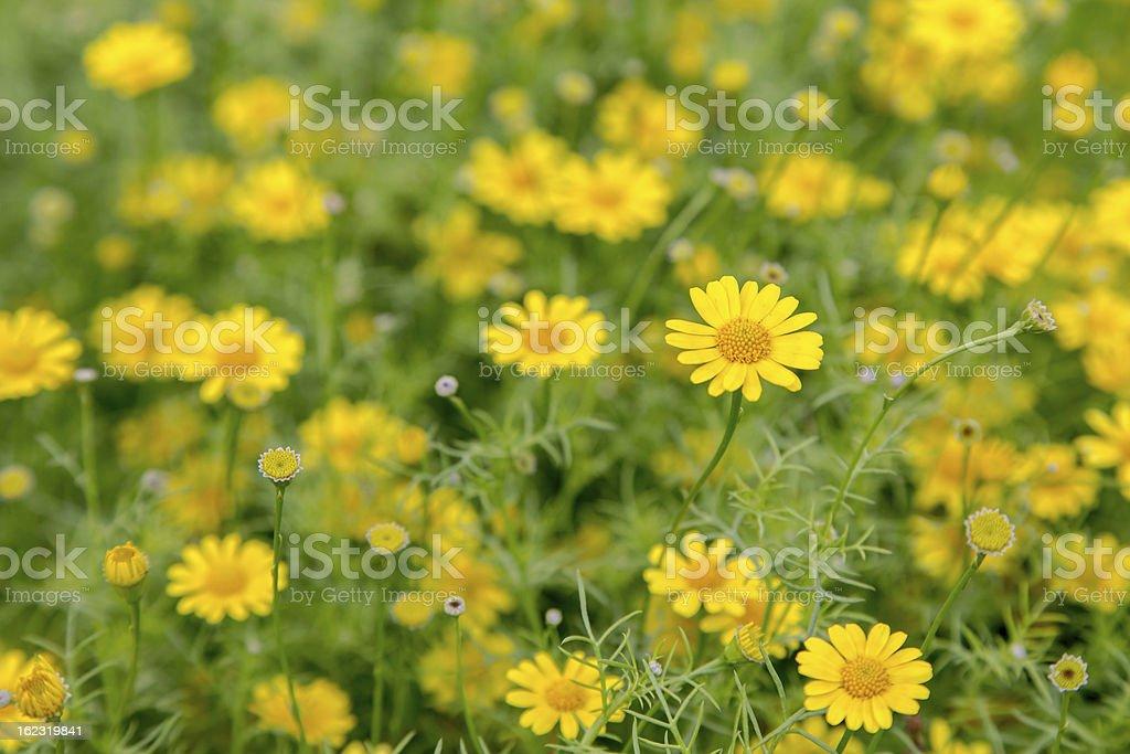 Yellow Chamomiles royalty-free stock photo