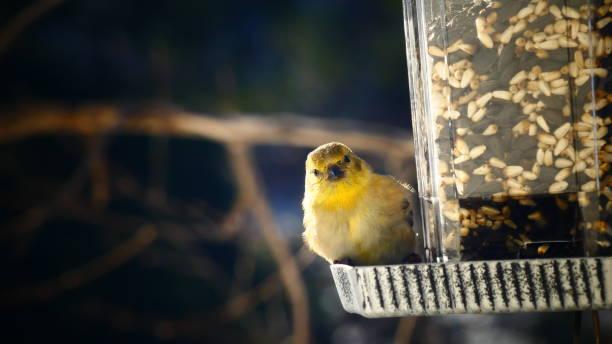 Yellow Chardonneret Oiseau dans une mangeoire regardant l'objectif american goldfinch stock pictures, royalty-free photos & images