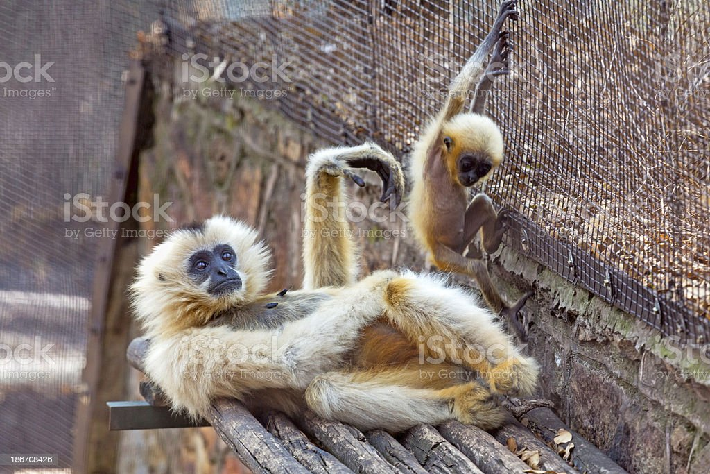 Yellow Cheeked Gibbon and baby royalty-free stock photo