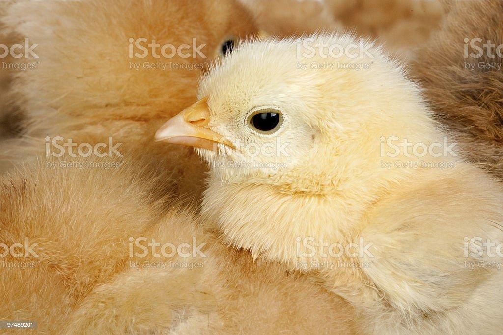 Yellow chick royalty-free stock photo
