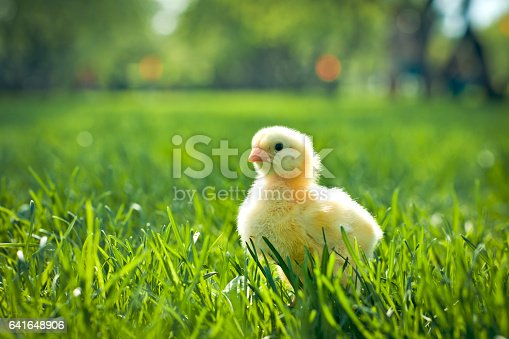 Chicken in spring outdoors