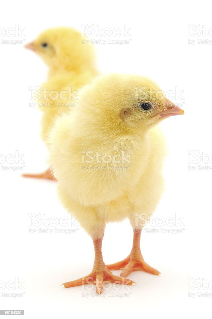Yellow chickens royalty-free stock photo