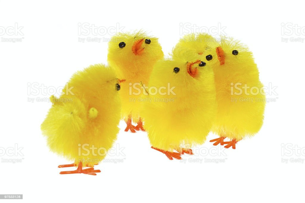 yellow chicklings royalty-free stock photo