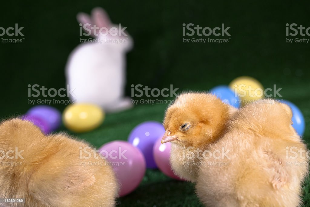 Yellow chicks with white bunny in background and plastic eggs royalty-free stock photo