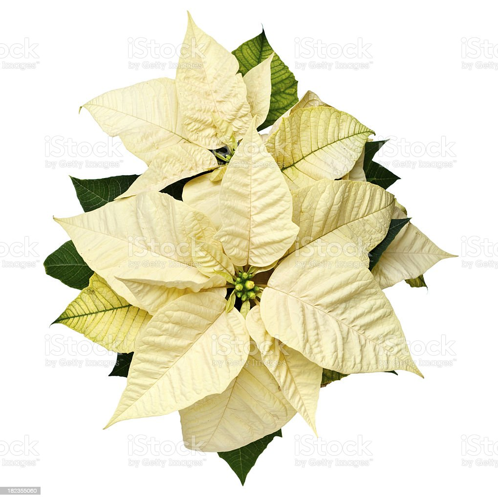 Yellow Christmas Poinsettia stock photo