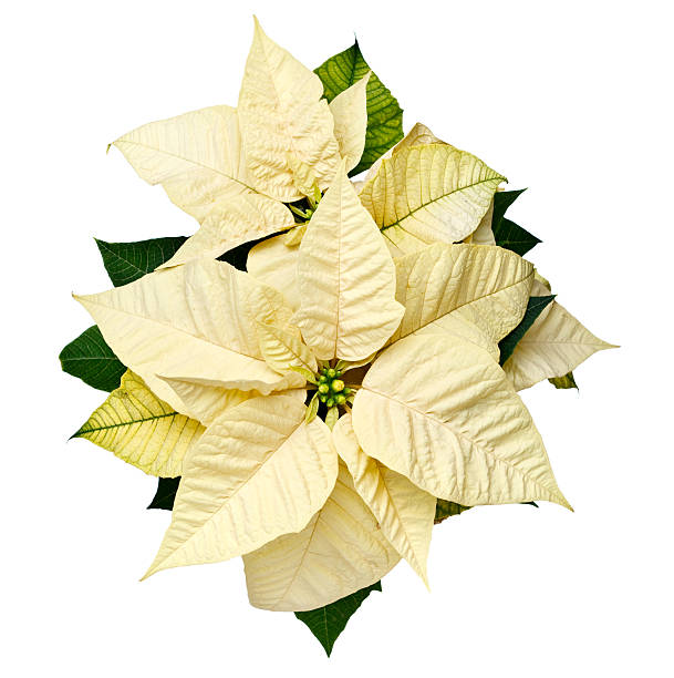 yellow christmas poinsettia - kerstster stockfoto's en -beelden