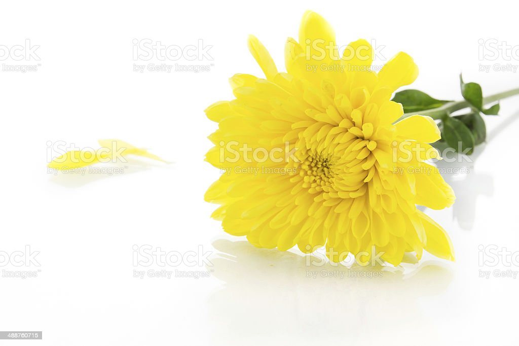 Yellow chrysanthemum and shadow effect royalty-free stock photo