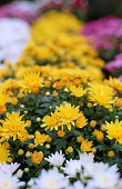 Yellow chrysanthemum bushes in bloom. Shot on film