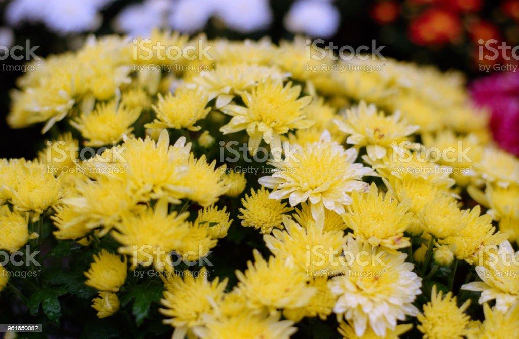 Yellow chrysanthemum bushes in bloom. Shot on film royalty-free stock photo