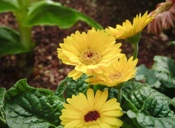 yellow chrysanthemum flower in sunlight. - mika foto e immagini stock