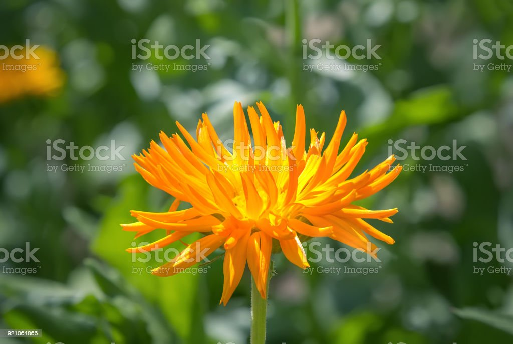 Yellow chrysanthemum flower in the garden stock photo