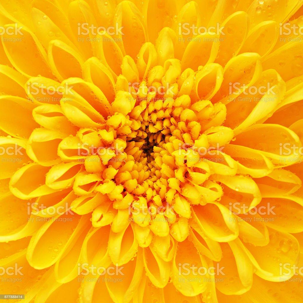 Yellow Chrysanthemum Flower Petals stock photo