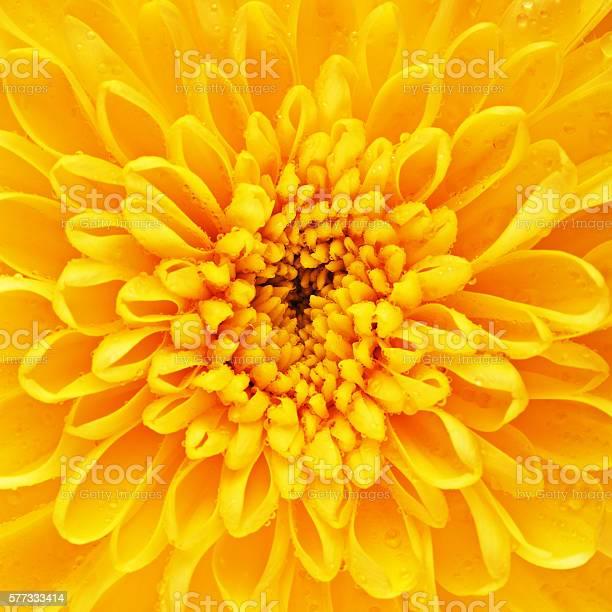 Photo of Yellow Chrysanthemum Flower Petals