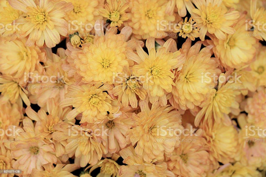 bouquet de fleurs de chrysanthème jaune en arrière-plan. photo libre de droits