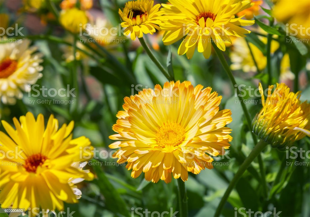 Yellow chrysanthemum flowers in the garden stock photo more yellow chrysanthemum flowers in the garden royalty free stock photo mightylinksfo