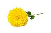 Yellow  chrysanthemum flowers isolated on white
