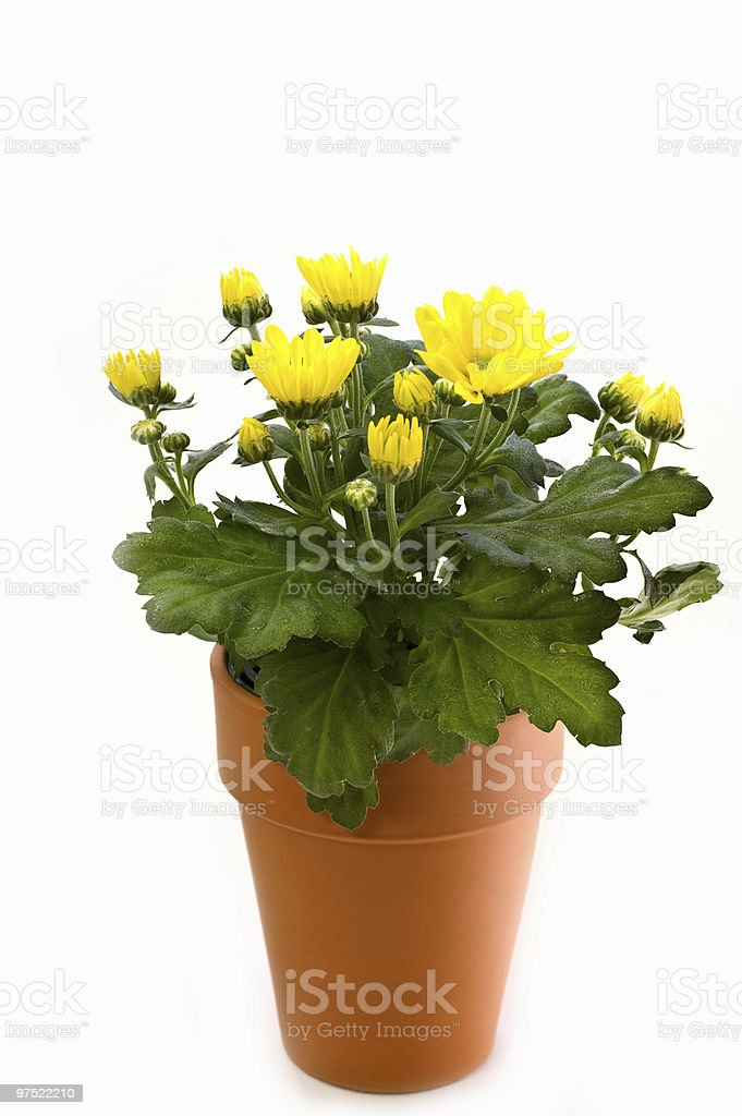 Yellow chrysanthemum in clay pot royalty-free stock photo