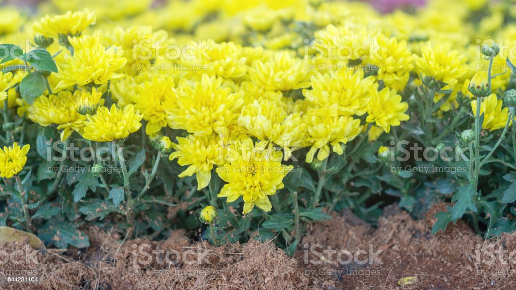 Yellow Chrysanthemum in the garden. stock photo