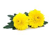 yellow chrysanthemum isolated on white background