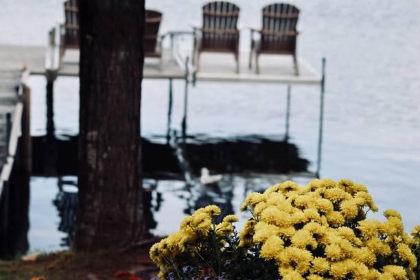 jaune chrysanthème - josianne toubeix photos et images de collection