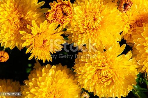 Bright background of beautiful yellow chrysanthemum flowers in the garden.