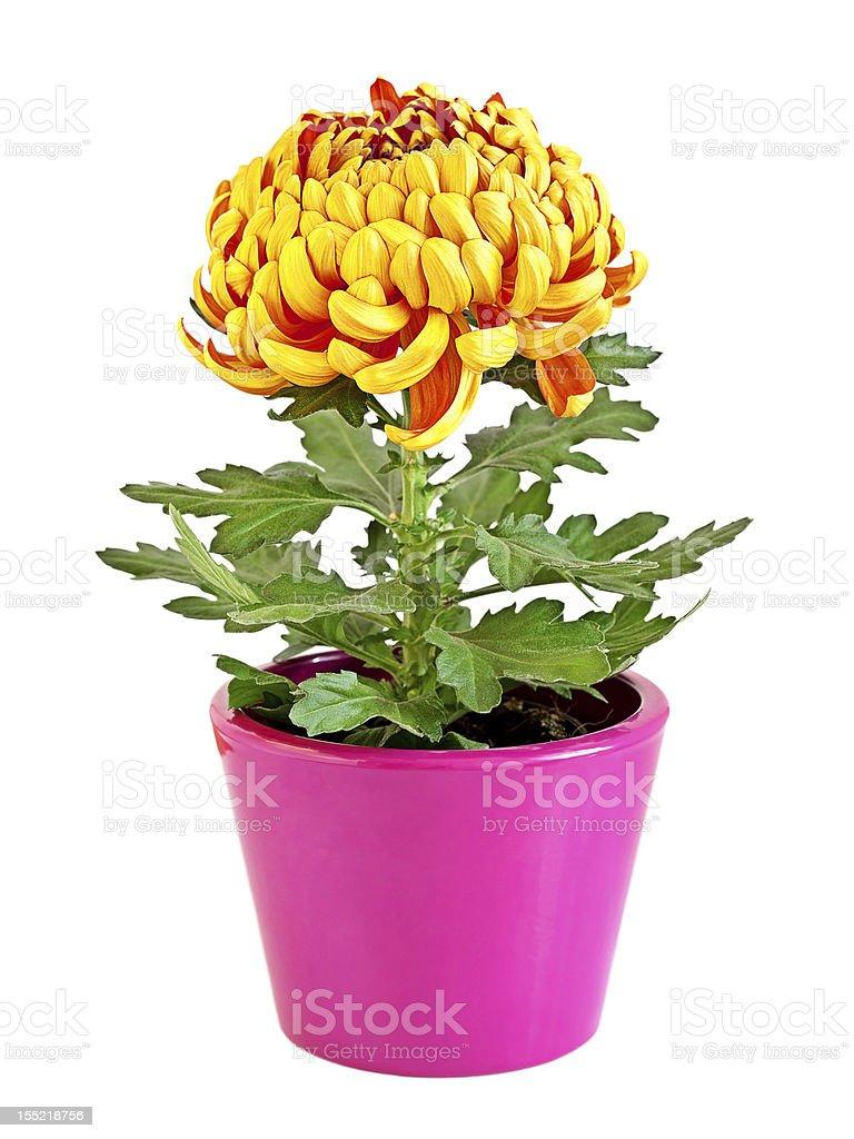 Gelbe Chrysantheme – Foto