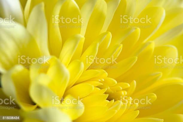 Yellow chrysanthemum picture id515006434?b=1&k=6&m=515006434&s=612x612&h=ilvcmfnaurwn 1tt0uoc7utbdvuhjwrecssh2bnaxbg=