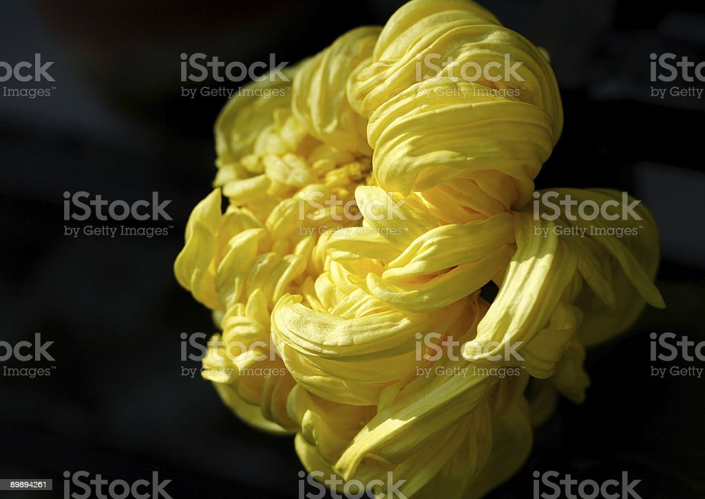 Yellow chrysanthemum royalty-free stock photo
