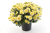 Yellow Chrysanthemum Potted Isolated on White.