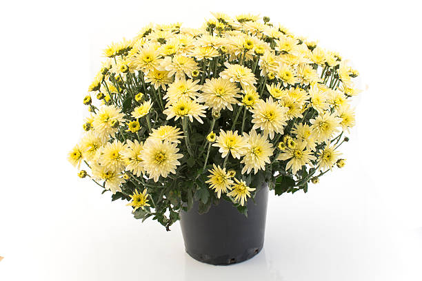 Yellow Chrysanthemum Potted Isolated on White stock photo