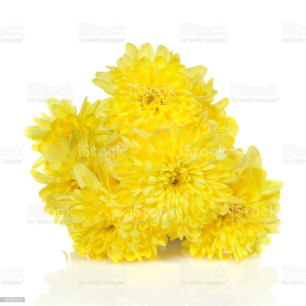 Yellow Chrysanthemums Flower On A White Background Stock Photo