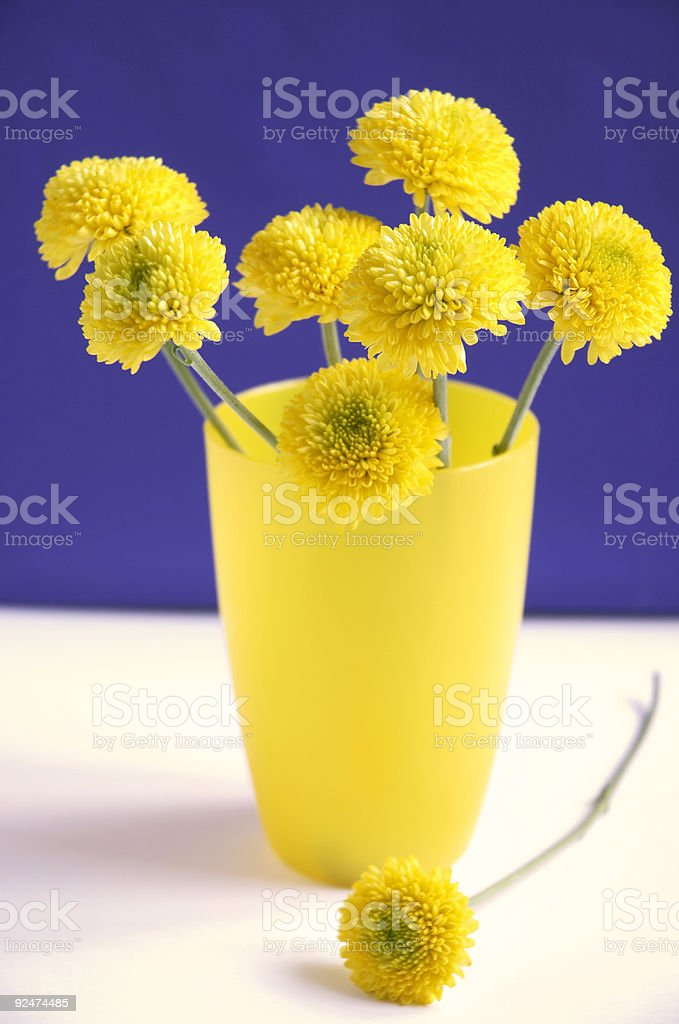 yellow chrysanthemums royalty-free stock photo