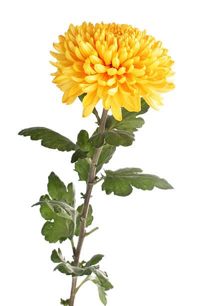 Gelbe Chrystanthemum – Foto