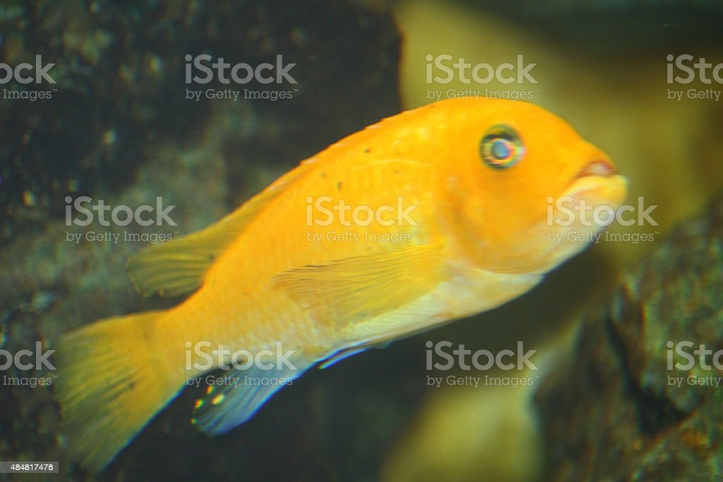 yellow cichlid  (Labidochromis caeruleus) stock photo